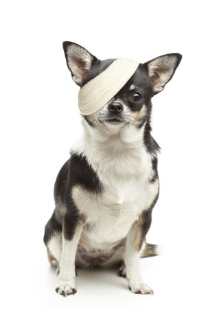 Injured chihuahua dog with bandages on white background